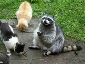 Raccoon Chills Out With Cats | Funcake.org