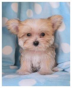Morkie puppy (Maltese/Yorkie) To Cute   Angels on Earth ...