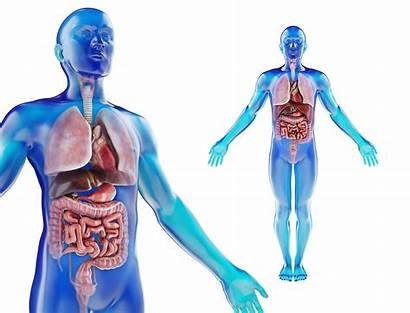 Anatomy Organs Human Male Internal 4k Textures
