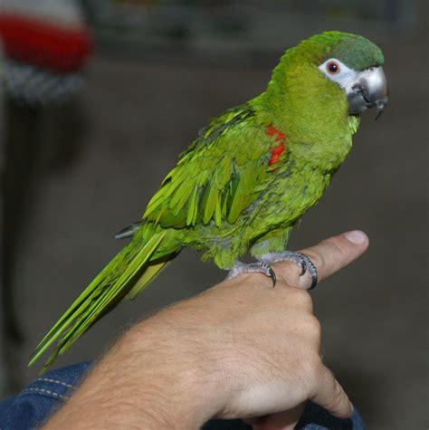 mini macaw mini macaw wikipedia