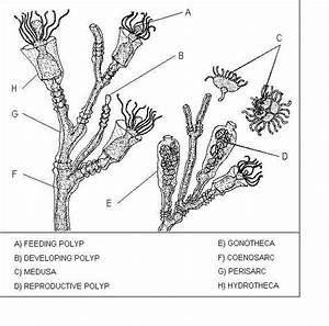 hydra biology diagram With hydra diagram