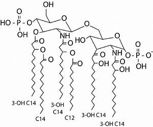 Structure Of The E  Coli Lipid A Molecule  Which Is Regarded As The