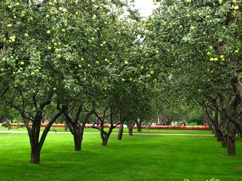 garden grass for sale file apple orchards in kolomenskoye 21 jpg wikimedia commons