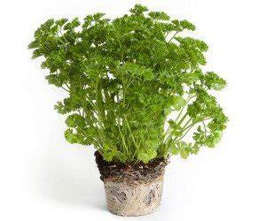 prezzemolo in vaso come coltivare prezzemolo biologico in vaso o nell orto