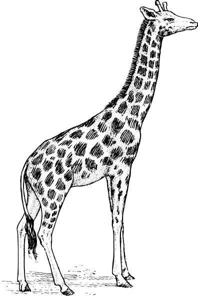 giraffe drawing clip art  clkercom vector clip art