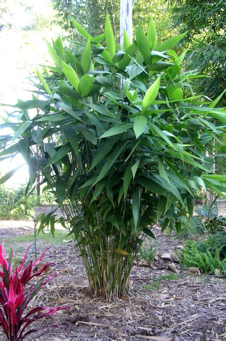 tropical sun plants thysanolaena maxima tiger grass bamboo land nursery
