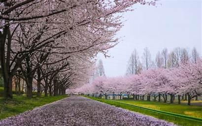 Blossom Cherry Tree Wallpapers Path Flowers Desktop