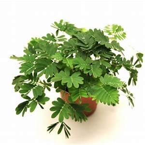 Pflege Von Zimmerpflanzen : mimose pflege von mimosa pflanzen ~ Markanthonyermac.com Haus und Dekorationen