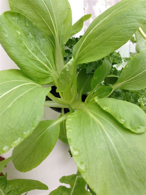A bit of crème fraîche perfectly balances the heat of the gochujang, or red chile paste. Growing baby bok choy is a breeze the aeroponic way. # ...