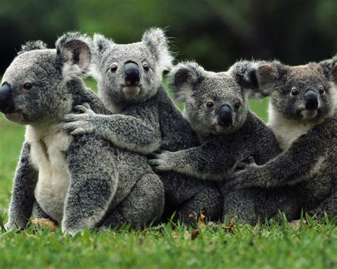 marsupials marsupial animals baby