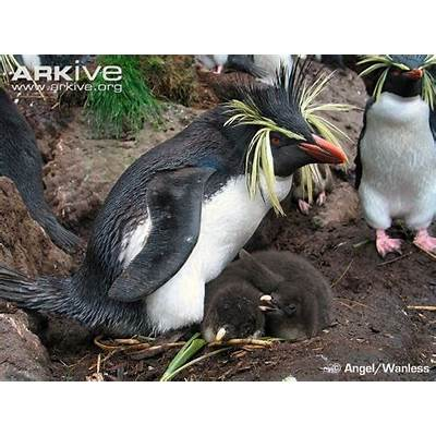 Northern rockhopper penguin photo - Eudyptes moseleyi