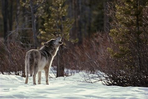 Howling Wolf Profile