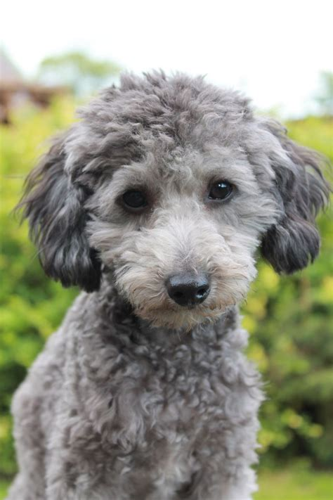 murphy   small toy poodle hes silver   caries