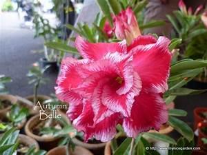 Desert Flower Names | Desert Rose with double flowers and ...