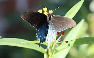 Pipevine Swallowtail Butterfly  Description