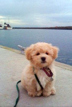 Images About Bichon Puppies On Pinterest
