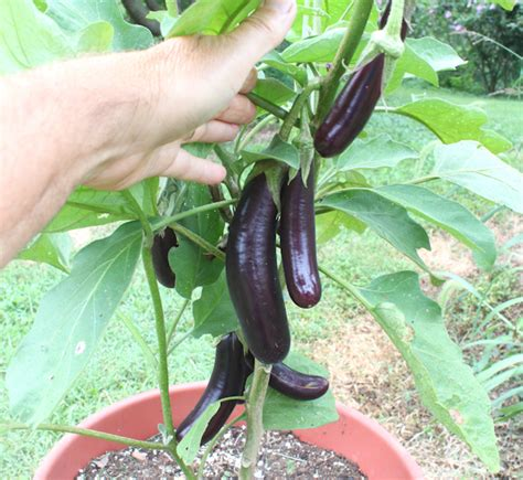 Growing Eggplant In Containers  Our Happy Acres