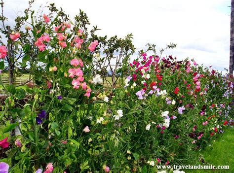 when to plant sweet peas outside when to plant sweet peas outside 28 images how to grow sweet peas from seed my pad blog