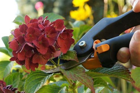 hortensien schneiden anleitung fuer fruehjahr und herbst