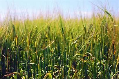 Barley Nature Wallpapers