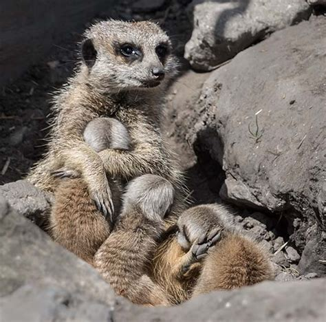 baby meerkats babies cute garden born zoological zoo triplets three whose still names animals ticking were weaver dudley camera dudleyzoo