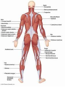 A  U0026 P Ch 6 Muscular System Lab Quiz Practice