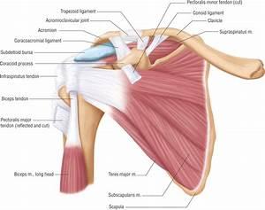 Basic Shoulder Anatomy