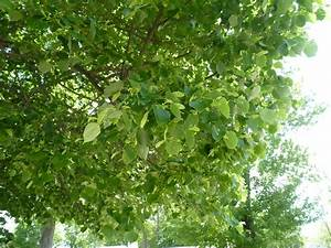 Albion Trees » Littleleaf Linden