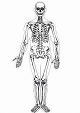 Human Skeleton Anatomy Coloring Pages Bulkcolor Science sketch template