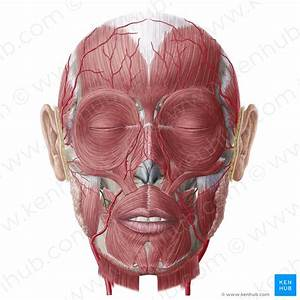 Superficial Nerves Of The Face And Scalp  Anatomy