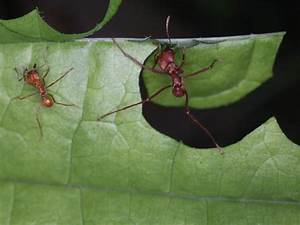 Leaf Cutter Ant Species - Atta cephalotes antARK