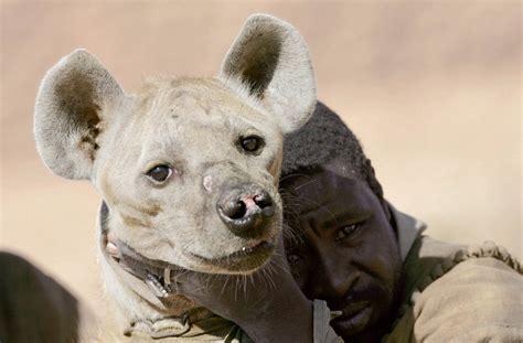voir des modeles de cuisine hyènes quels sont les rapports entre les hommes et les hyènes pratique fr