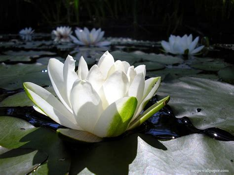 Symbolic Meaning of Lotus Flower - Tina DiCicco Reynolds ...