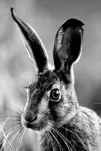 Osterhase Schwarz Weiß : osterhase schwarz wei animals animals rabbit animals beautiful ~ A.2002-acura-tl-radio.info Haus und Dekorationen
