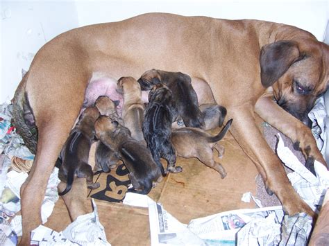 gestation period for dogs angels canine gestation period and puppies