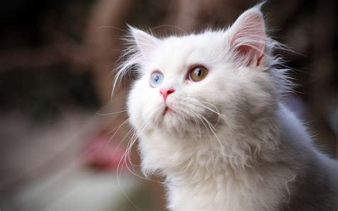 white cats white cat wallpapers hd wallpapers id 9832