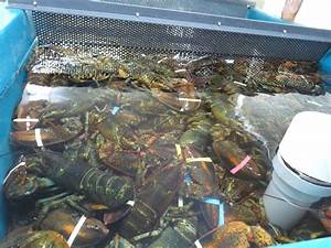 Live lobster tank | Yelp