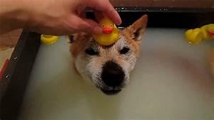 Shiba Inu Dog GIF by Digg - Find & Share on GIPHY