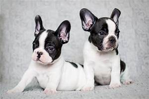 French Bulldog | Temperament & Personality