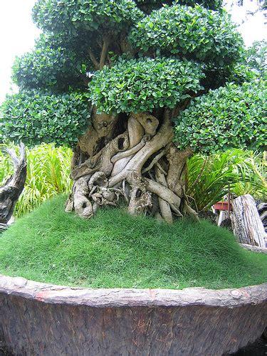 Giant Bonsai Tree