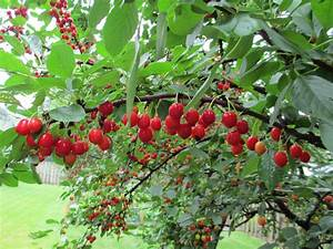 I Have A 15 Year Old Cherry Tree I Am Attempting To