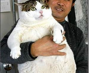 Meet the fattest cats in the world, it's unbelievable ...