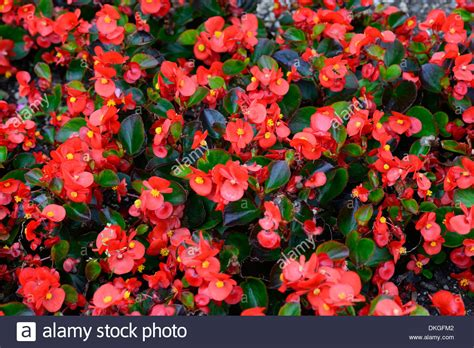 are begonias annuals begonia semperflorens flowers flowering blooms annuals red pink stock photo royalty free image