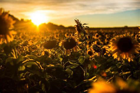 Sunrise Sunset Sunflower Field Flowers Nature Wallpaper