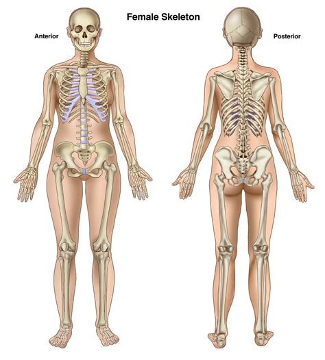 Female back muscle anatomy human back diagram organs human. Basic Anatomy for Trial Lawyers: The Human Skeleton   Compel Visuals