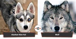 The Alaskan Klee Kai is another small dog breed that looks ...