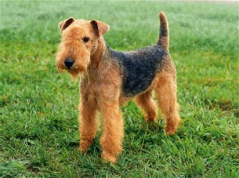 lakeland terrier history personality appearance health
