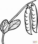 Peas Coloring Pages Bean Printable Clipart Drawing Supercoloring sketch template