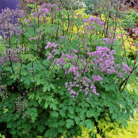 meadow rue buy meadow rue thalictrum black stockings delivery by waitrose garden in association with crocus