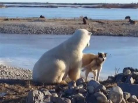 churchill dog killed  polar bear   night owner